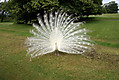 white-peacock.jpg