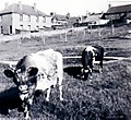 Cows_Grazing_At_Archies_Park_1950.jpg