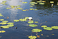 water-lilly.jpg